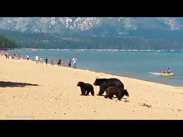 Медведи купаются на пляже с людьми