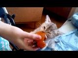 Котенок ест хурму