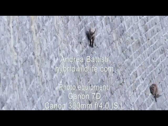 Alpine Ibex on Dam - Ибексы исследуют горы