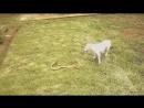 Бои животных, храбры собаки на видео присутствуют