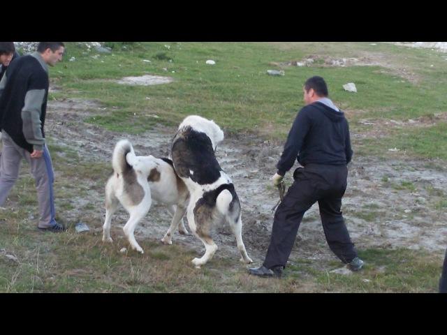 Собачий бой в Жемтале(3)