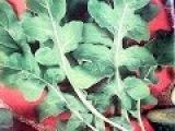 Выращивание руколы.