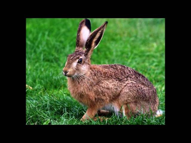 Rabbit sound, звук зайца, 野兔的聲, खरगोश ध्वनि, খরগোশ শব্দ, sonido liebre, som lebre, الأ1585