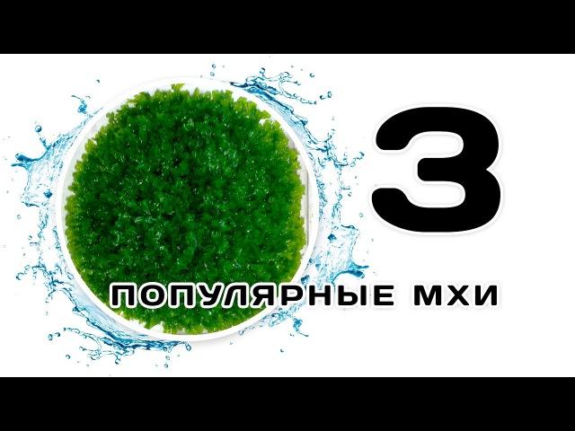 Популярные аквариумные мхи. Часть 3. Моносолениум. Рождественский. Тайванский