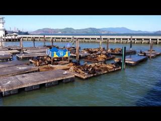Морские львы Сан-Франциско