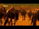 Мир животных. Африка. Антилопы Гну. Национальный парк Серенгети. National Geogra