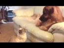 Кот-гипнотизер устроил собаке жестокое испытание