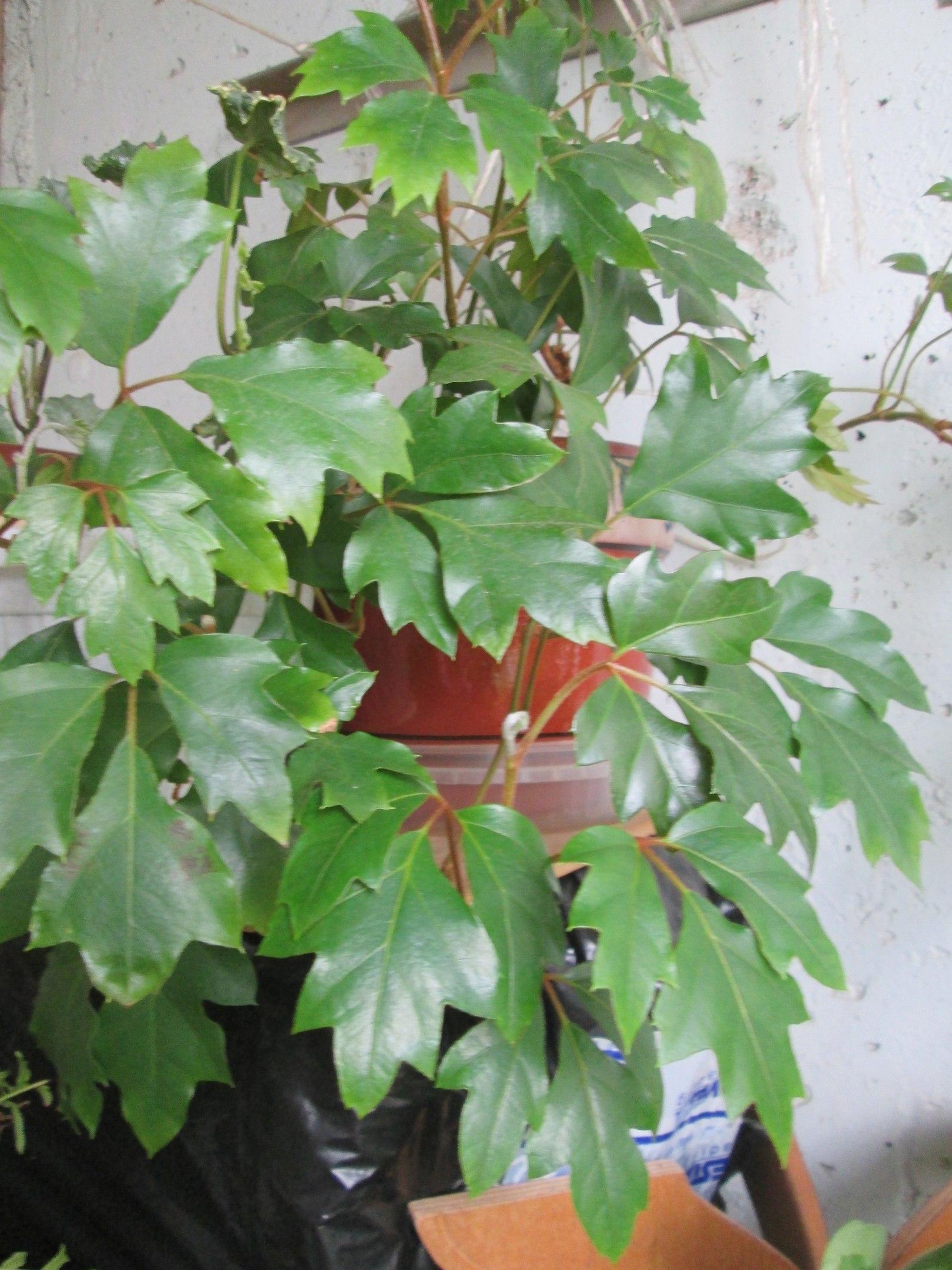 ароидные комнатные растения фото и названия