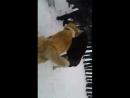 Собачий бой Кашка и Лион