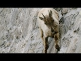 The incredible ibex climbs a dam - Forces of Nature with Brian Cox Episode 3 - BBC One