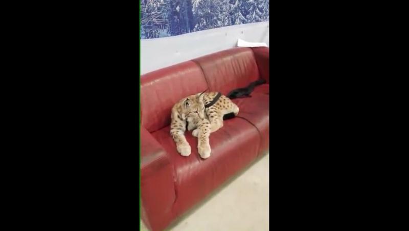 Рысь и другие кошки (Проэкт Этажи)