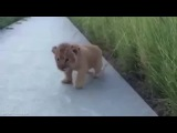 BABY LION ROAR