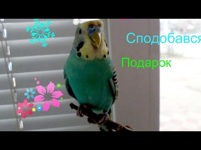 Чи сподобався папугам подарок нове відео на каналі (Волнистик Life)