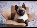 10 малоизвестных фактов о сиамских кошках