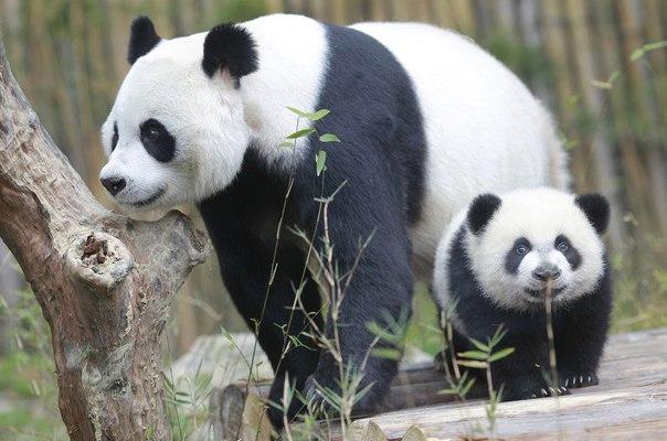 Panda Neden Siyah Beyaz Araştırmacılar Sebebini Buldu