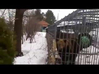 Медведь напал на мужика