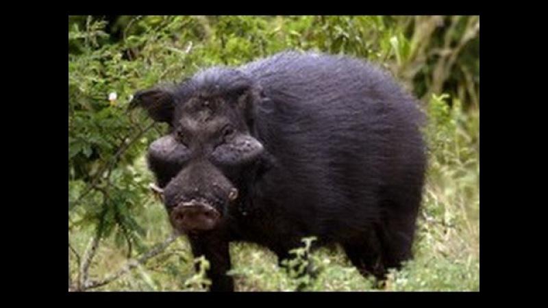 Африка. Дикие животные. Лесные свиньи. Документальный фильм National Geographic.,