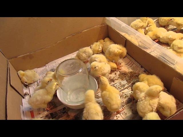Кормление и пропой цыплят в первые дни жизни (броллеров и несушек)