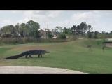Гигантский аллигатор забрел на поле для гольфа