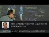 Анатомия Рея: Нижняя часть ноги и стопа