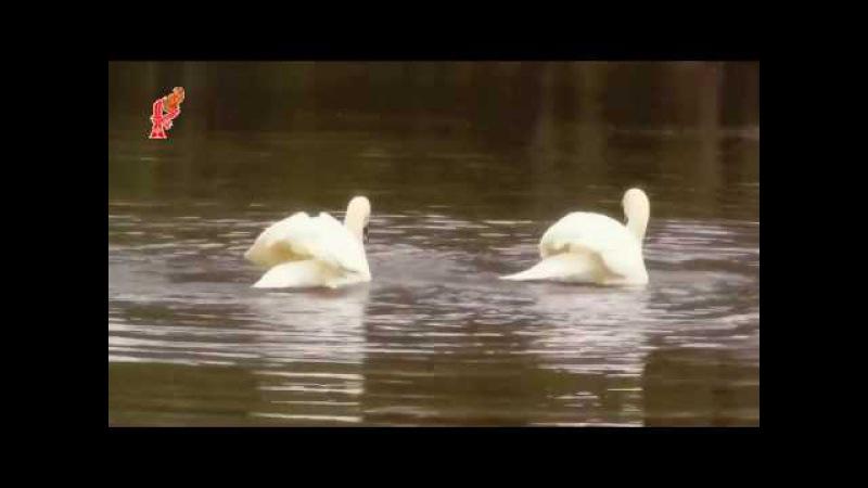 КИРИЛЛ БОГОМИЛОВ. Танец белых лебедей