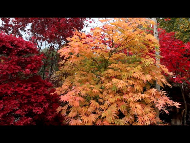 Amazing Maples Crazy Conifers - Oct 2011