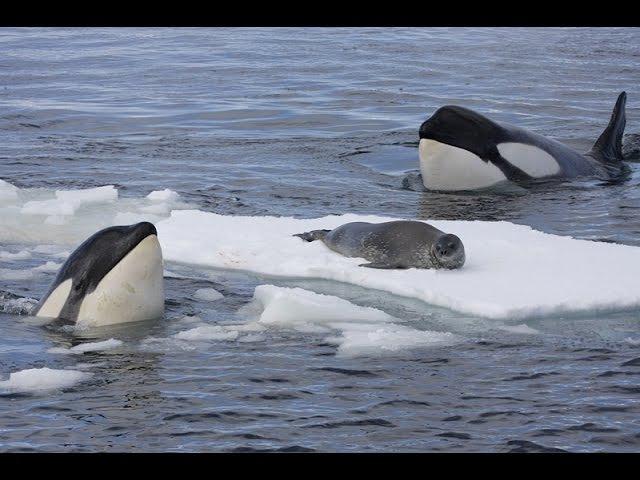 Orca Hunt Seal