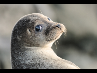 Рыбакам Петропавловска-Камчатского пришлось защищать свой улов от тюленя