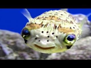 Уникальная - Рыба архитектор и его шедевры на морском дне (Это Надо видеть)