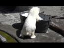 Белая медведица резвится в ледяной ванне