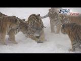 Tigers vs Drone Siberian Tigers Destroy Drone  ABC News