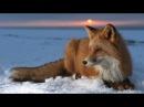 Очень интересный документальный о лисах