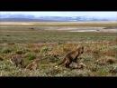 BBC Дикая природа России Арктика