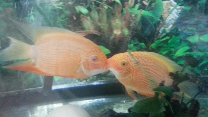 смачный засос! рыбки целуются!