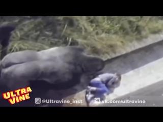 Мальчик упал в вольер к гориллам