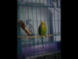 Мой попугай танцует