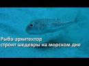 Рыба архитектор бело пятнистый иглобрюх и его шедевры на морском дне