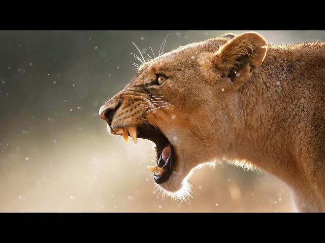 Охота Хищних Животных. Док фильм