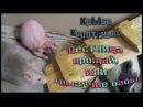 Лестница прощай или грызучие бабы Fancy Rats Декоративные крысы