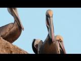 Yawning Pelicans