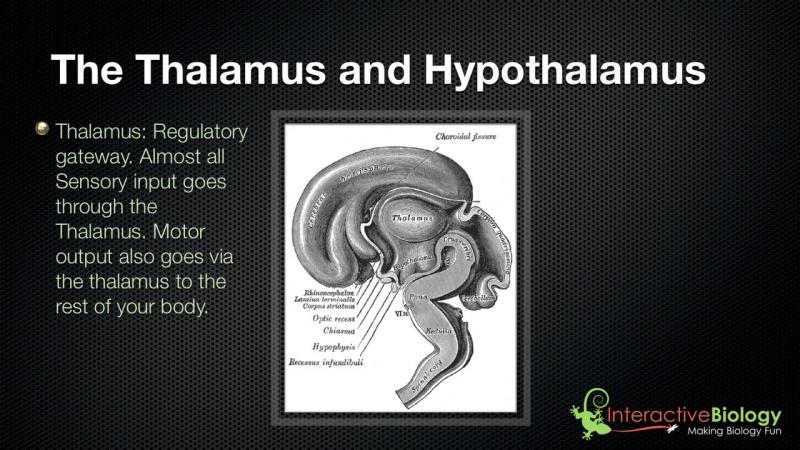 028 The Thalamus and Hypothalamus