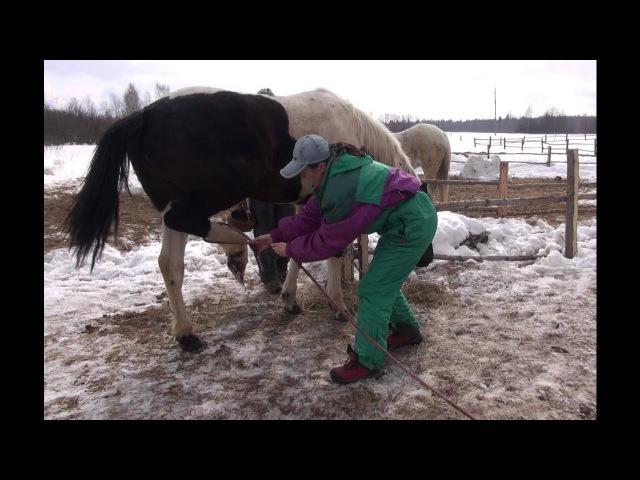 Лошадь не хочет давать ноги для расчистки. Как решить проблему?