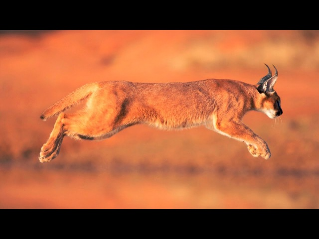 Охотники АФРИКИ - Животные Охотятся в Slo - Mo. Animal Planet HD