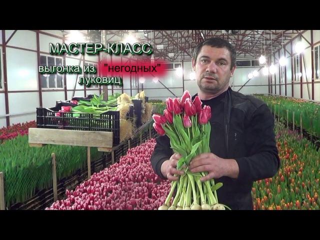 Выгонка тюльпанов из