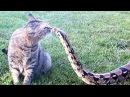 Кошка — самый страшный в мире зверь