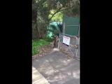 Коала помогает детёнышу перелезть через забор #ДругойМир