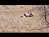 Последние минуты жизни льва. Лев ведет себя ,как будто видит того кто пришёл забрать его душу.
