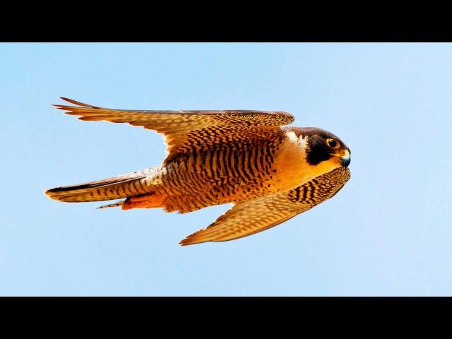 Сапсан –самая быстрая птица на Земле. Сила хищных птиц. Дикая природа. Фильм Nat Geo HD 24.01.2017