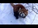 Красная панда радуется снегу