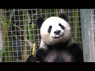 Неугомонная большая панда КЛАСС ролик!